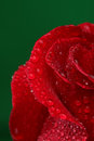 Red rose with lots of water drops macro Royalty Free Stock Photos