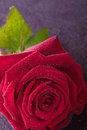 Red rose for love single wedding and valentine Royalty Free Stock Image