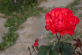 Red rose a in morning Stock Image