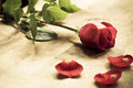 Red rose and petals Royalty Free Stock Images