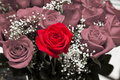 Red rose among pink roses Royalty Free Stock Photos