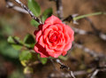 Red rose plant in garden Stock Images