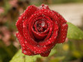Red rose with raindrops Royalty Free Stock Photo
