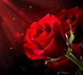 Red rose st valentine s day flower isolated on black Royalty Free Stock Image