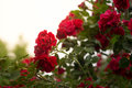 red rose with sunshine after rain Royalty Free Stock Photo