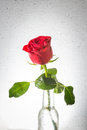 Red rose with water drop drops on glass bottle Royalty Free Stock Photography
