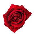Red rose with water droplets isolated on white Royalty Free Stock Photo