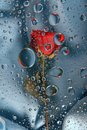 Red rose in water drops 6 Stock Photo