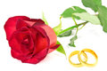 Red rose and wedding rings on the white background Royalty Free Stock Image
