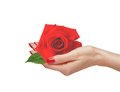 Red rose in woman hand isolated Stock Images