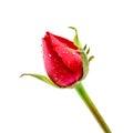 Red Rosebud Rose