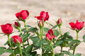 Red rosebush Stock Photos