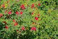 Red rosebush fruits Royalty Free Stock Photo