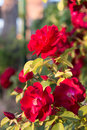 Red rosebush Royalty Free Stock Photo