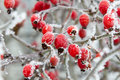 Red rosehip berries in winter frost closeup Royalty Free Stock Photo