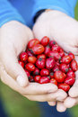 Red rosehips in hands man Royalty Free Stock Image