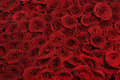Red roses background from big beautiful Stock Image