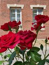 Red Roses and Backround