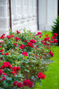 Red roses blooming in garden Stock Images