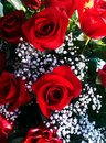 Red roses a bouquet of with babys breath Royalty Free Stock Photos