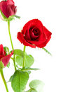 Red roses in closeup Stock Images