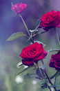 Red roses in a garden. Close-up of garden rose. red roses with w Royalty Free Stock Photo
