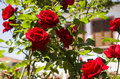 Red roses from a garden in cunda island Royalty Free Stock Images