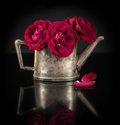 Red roses in old silver jug before black background Royalty Free Stock Photo