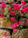 Red roses on the stone wall Royalty Free Stock Photo
