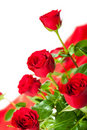 Red roses on white background Stock Photography