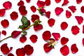 Red roses wilt Stock Photography