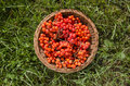 Red rowan berry in wicker plate on garden grass summer end Royalty Free Stock Image