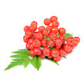 Red rowan mountain ash berries isolated on white background a cluster of rowans with green leaves a Stock Photos