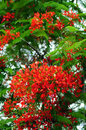Red Royal Poinciana tree Royalty Free Stock Photography