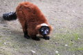 Red ruffed lemur Royalty Free Stock Photography