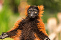 A Red Ruffed Lemur In The Arti...