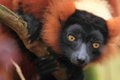 Red ruffed lemur the detail of Stock Images