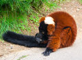 The Red Ruffed Lemur (Varecia rubra) Royalty Free Stock Photos