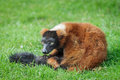 Red ruffed lemur a varecia rubra sitting on grass Royalty Free Stock Photo