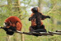 Red ruffed lemurs the couple of adult Stock Photo