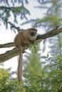 Red ruffled lemur varecia rubra single mammal on branch Royalty Free Stock Images