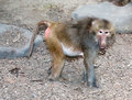 Red rumped baboon the hamadryas is distinguished from other baboons by the male's long silver grey shoulder cape and the pink or Stock Photography