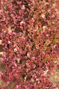 Red salad grows close up many bushes in garden Royalty Free Stock Image