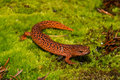 Red Salamander Royalty Free Stock Photo