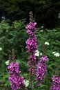 Red Sally flower Purple Loosestrife Royalty Free Stock Photo