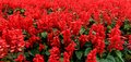 Red salvia field of flower Stock Photography