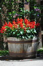 Red salvia flowers half barrel container of blooming Royalty Free Stock Photos