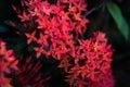 Red Santan Plant