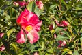 Red sasanqua camellia bush with flowers in bloom Royalty Free Stock Photo