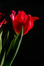 Red and scarlet tulips on a black background. Lots of space for text. Royalty Free Stock Photo